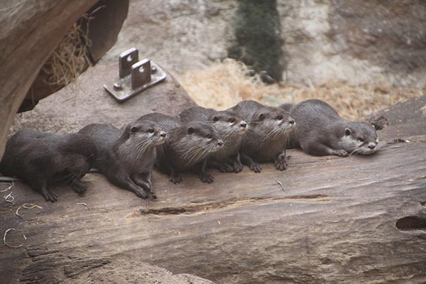 Let's Identify the Fish Thief from This Otter Lineup