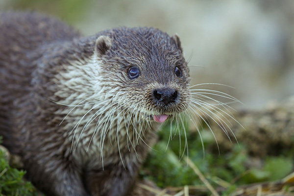 Otter Derp