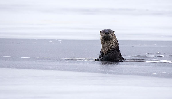 Otter Emerges from a Hole in the Ice