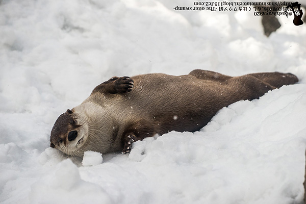 Otter Lounges in the Snow
