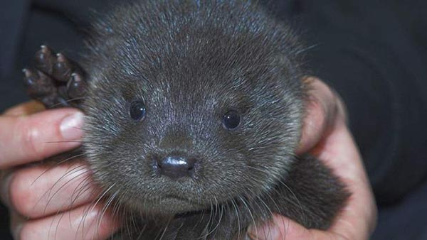 Otter Pup Rescued After Being Separated from His Mother