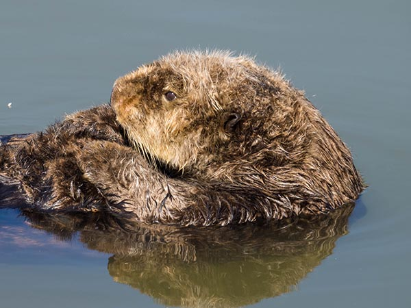 Sea Otter Curls Up Tightly for Some Grooming