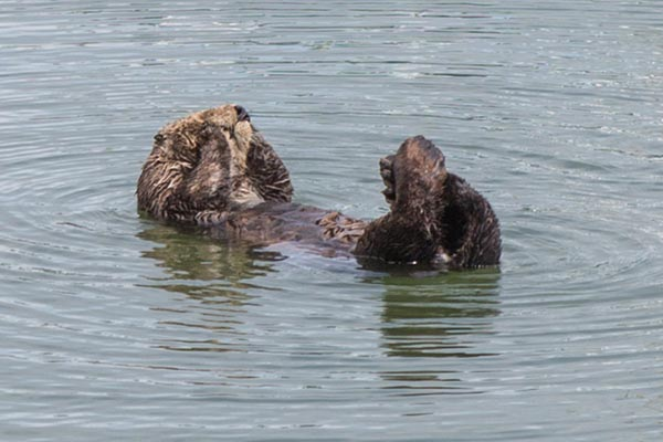 Sea Otter Scrubs Up 1