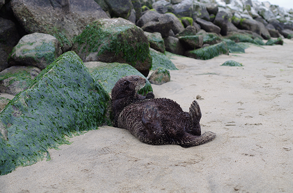 Sea Otter Sunbathes on the Beach