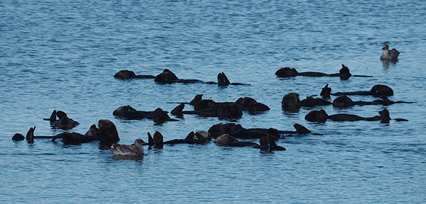 This Raft of Sea Otters Has a New Avian Member