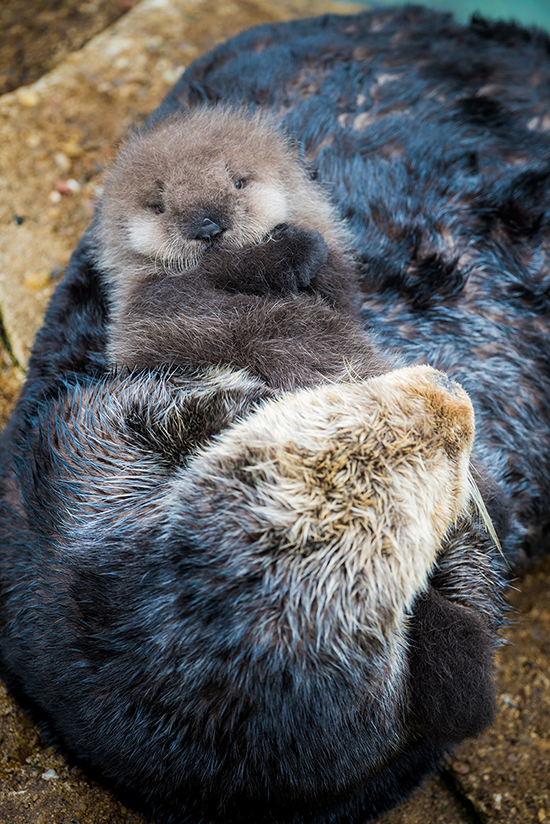 Wild Sea Otter Born in Monterey Bay Aquarium's Great Tide Pool!