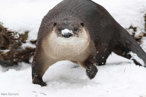 Otter Is Ready for a Snowball Fight