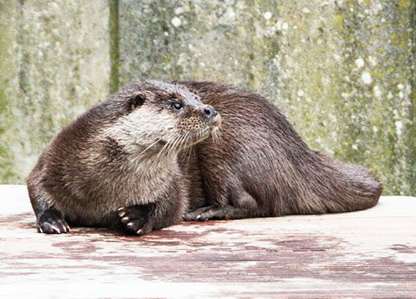 Otter Looks Like He's Being Called