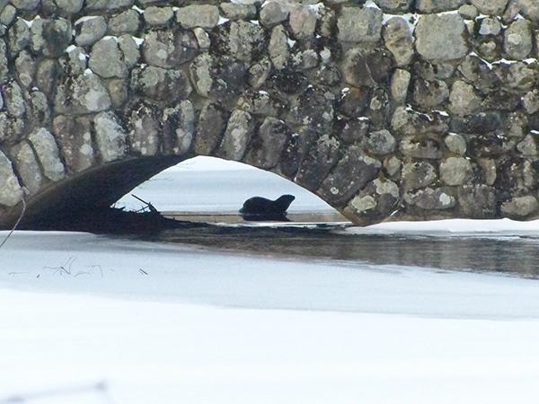 Otter Lurks Under a Bridge