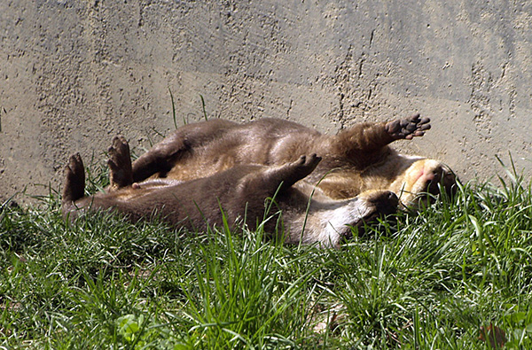Otters Lounge Together in the Sun