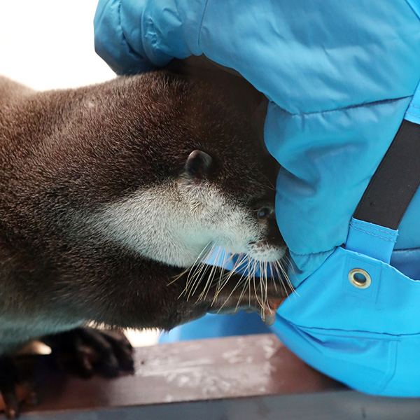 Pickpocket Otter Looks for Hidden Treats