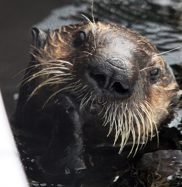 Sea Otter Is Deep in Thought