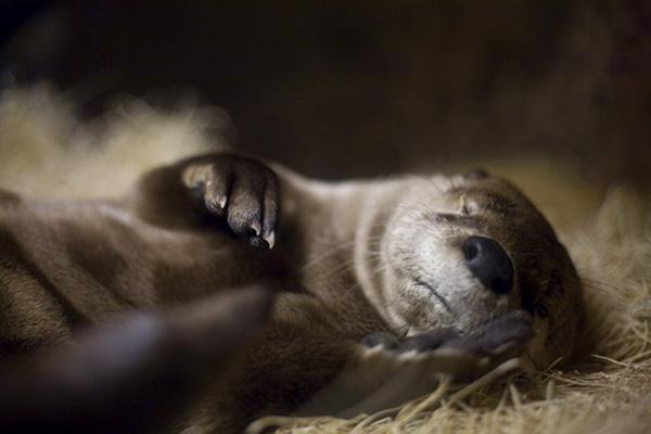 Shh! Otter Is Fast Asleep!