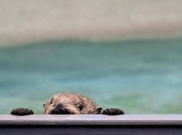 Sneaky Sea Otter Is Caught Spying