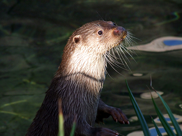 Wide-Eyed Otter Watches and Listens 3