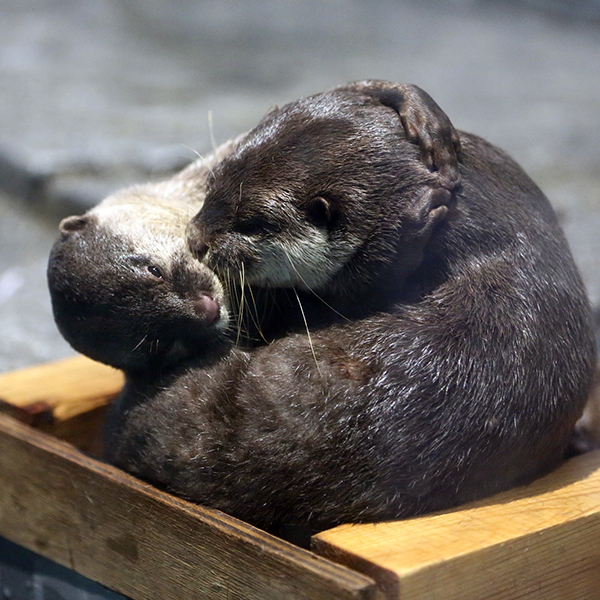 A Double Dose of Otter Affection 2