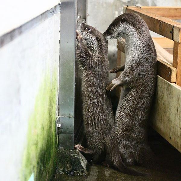 Cop Otter Frisks the Fish Thief