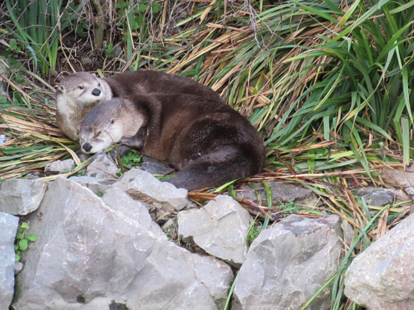 Otter Takes a Nap Under Her Friend's Watchful Eye