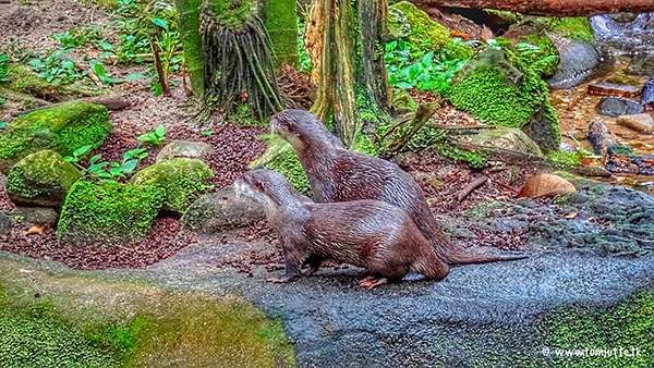 Otters Leisurely Tour Their Mossy Enclosure
