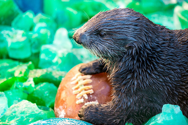 Sea Otter Gears Up for the Super Bowl with a Tasty, Icy Ball