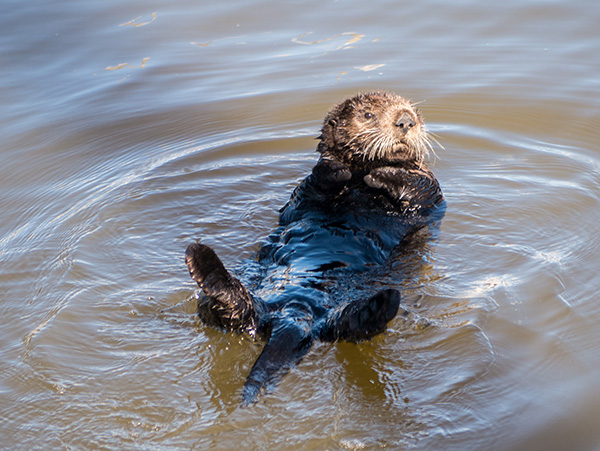 Sea Otter Gives the Photographer the Side-Eye