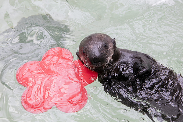 Sea Otter Pup 719 Finds a New Home at Shedd Aquarium! 1