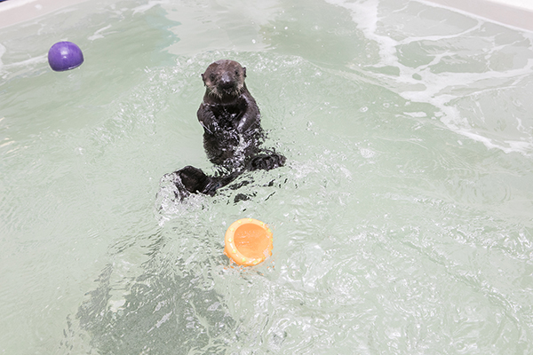 Sea Otter Pup 719 Finds a New Home at Shedd Aquarium! 2