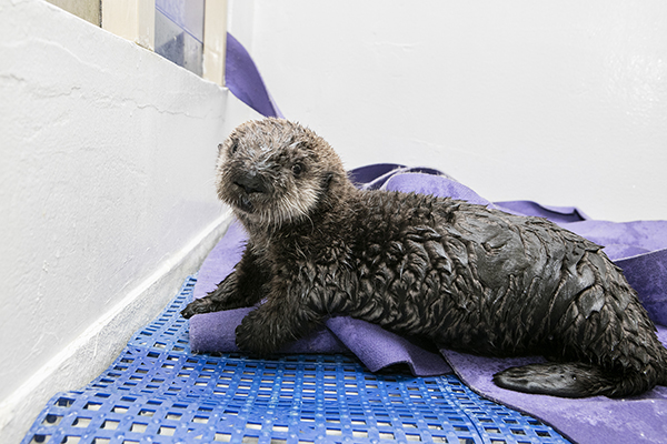 Sea Otter Pup 719 Is Already a Pro at Poolside Posing 1