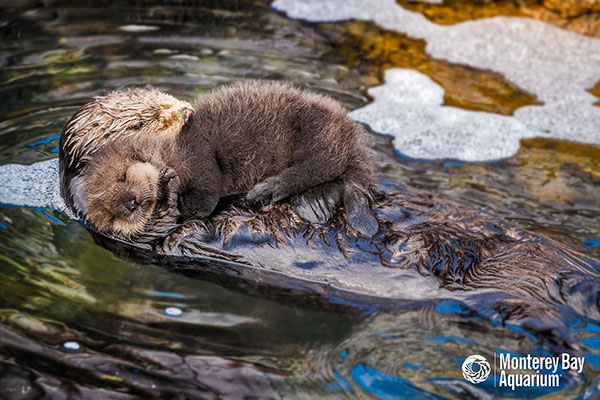 Another Wild Sea Otter Pup Born Outside Monterey Bay Aquarium! 1