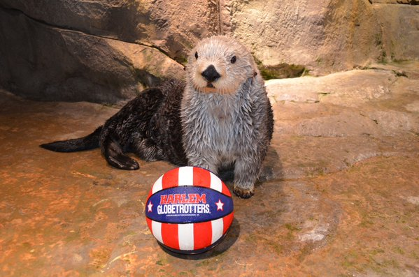Get the Globetrotters in the Pool and Sea Otter Can Show Them Some Real Moves