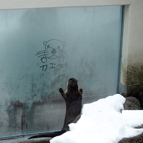 Otter Looks at a Message Written in a Frosty Window