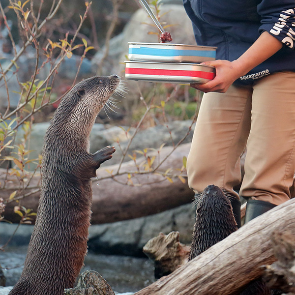 Otter Waits Breathlessly for a Treat