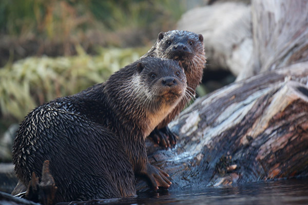 Otters Have Caught Human Eavesdropping!