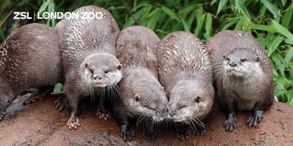 Otters Have a Moment of Affection Among Their Friends