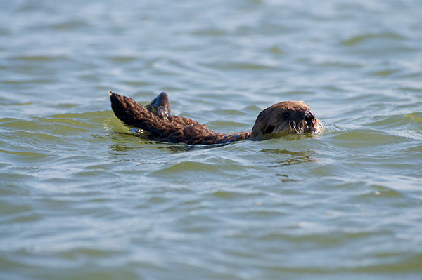 Protective Sea Otter Mother Reins in Her Curious Pup 1