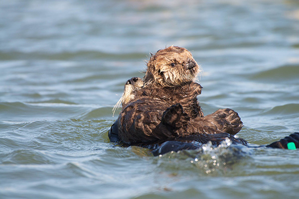 Protective Sea Otter Mother Reins in Her Curious Pup 2