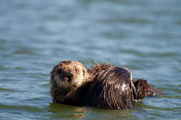 Protective Sea Otter Mother Reins in Her Curious Pup 3