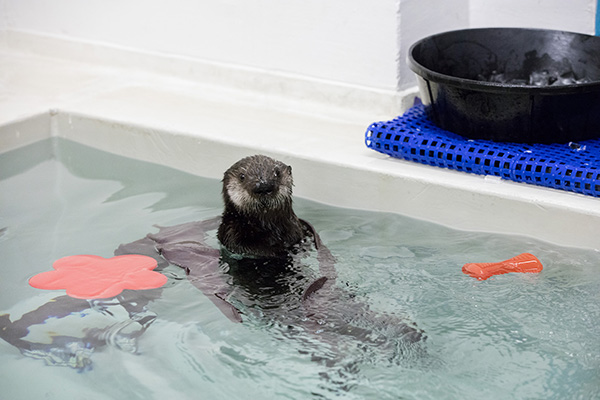 Rescued Sea Otter Pup 719 Gets a New Name Today 3