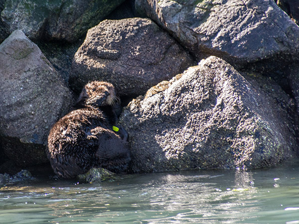 Sea Otter Exhibits Little-Known Camouflage Powers