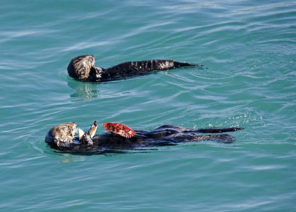 Sea Otters Enjoy a Fresh Catch