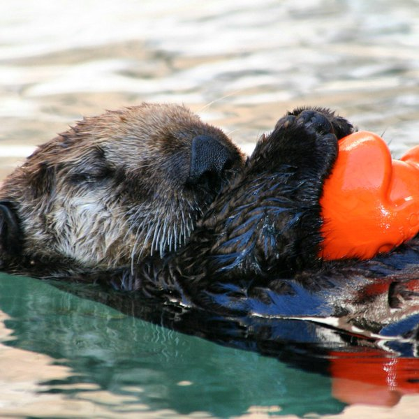 Sea Otter Snoozes Peacefully