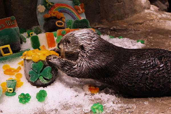 Sea Otters Get into the St. Patrick's Day Spirit 1