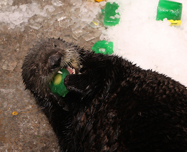 Sea Otters Get into the St. Patrick's Day Spirit 3