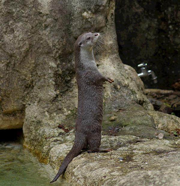 Always Up for a Challenge, Otter Wonders What It Would Take to Scale These Walls 1