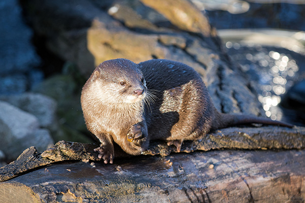 Otter Absentmindedly Juggles His Rock