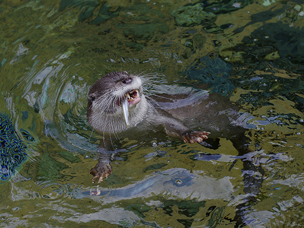 Otter Is Delighted to Have Caught a Fish