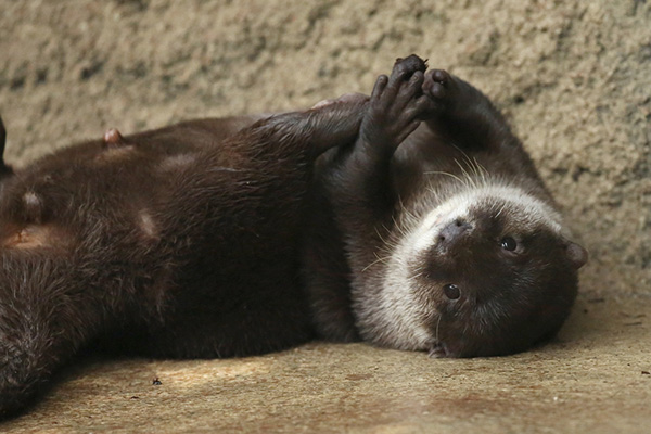 Otter Juggles with His Front AND Hind Paws!