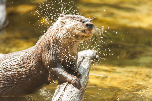 Otter Shakes It Off