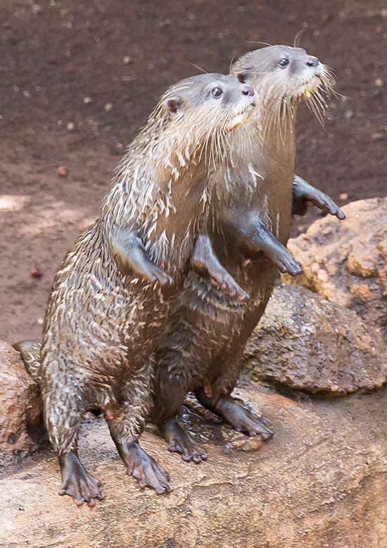Otters Lean Forward Expectantly