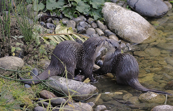 Otters Pause for a Quick Smooch Before Starting Their Day